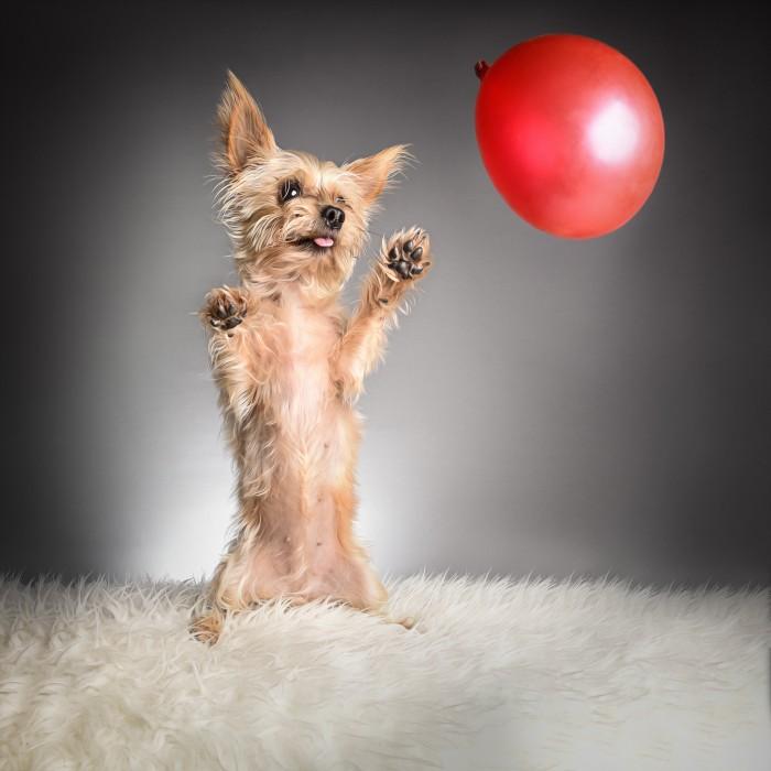 Hund Yorkshire Terrier Luftballon